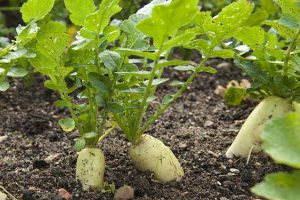 सुनसरीको दक्षिणवर्ती क्षेत्रका किसान जैविक तरकारी खेतीतर्फ आकर्षित